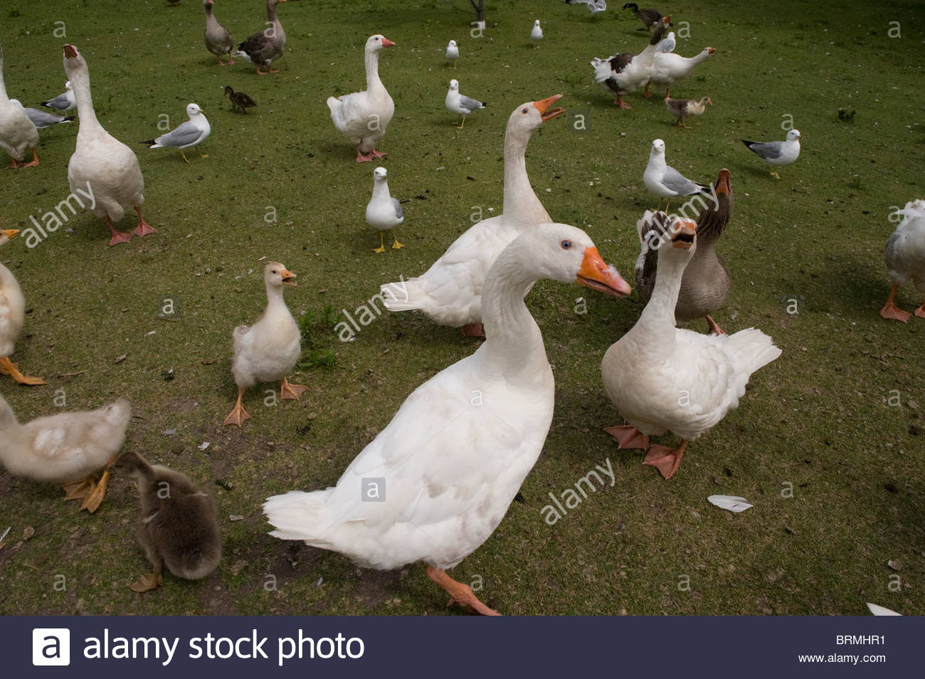 Domestic geese and goslings in Walker, MN. - Stock Image