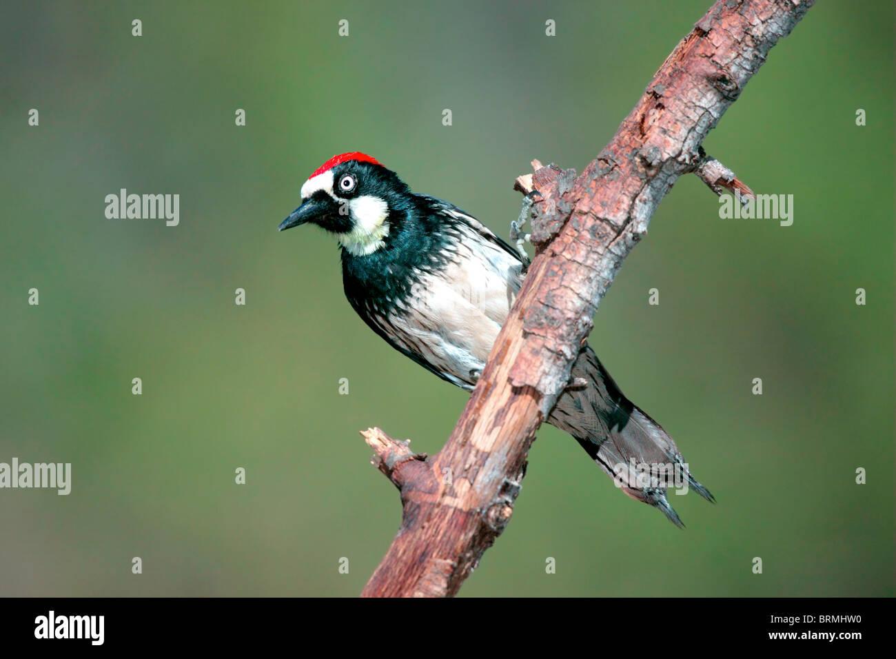 Acorn Woodpecker - Stock Image