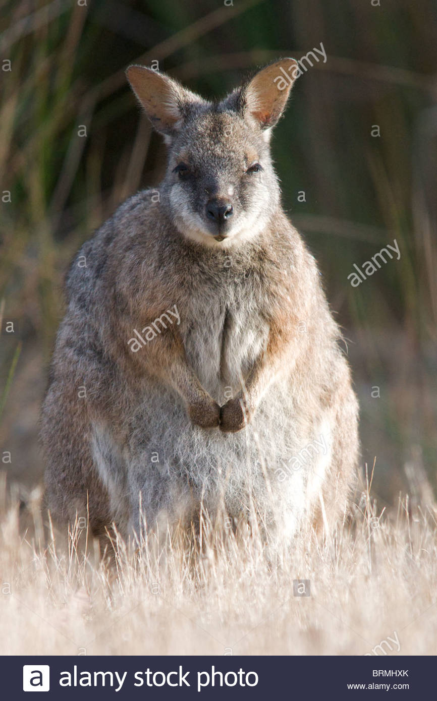 A Tamar Wallaby standing alert in tall grass. Stock Photo