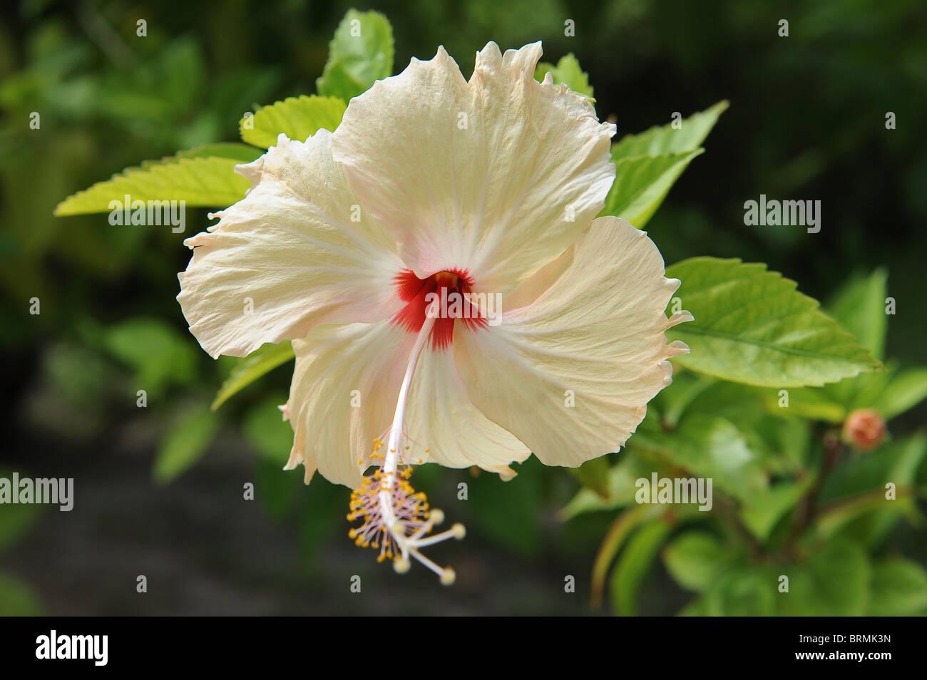 Hawaiian flower stock photos hawaiian flower stock images alamy hawaiian flower stock image izmirmasajfo