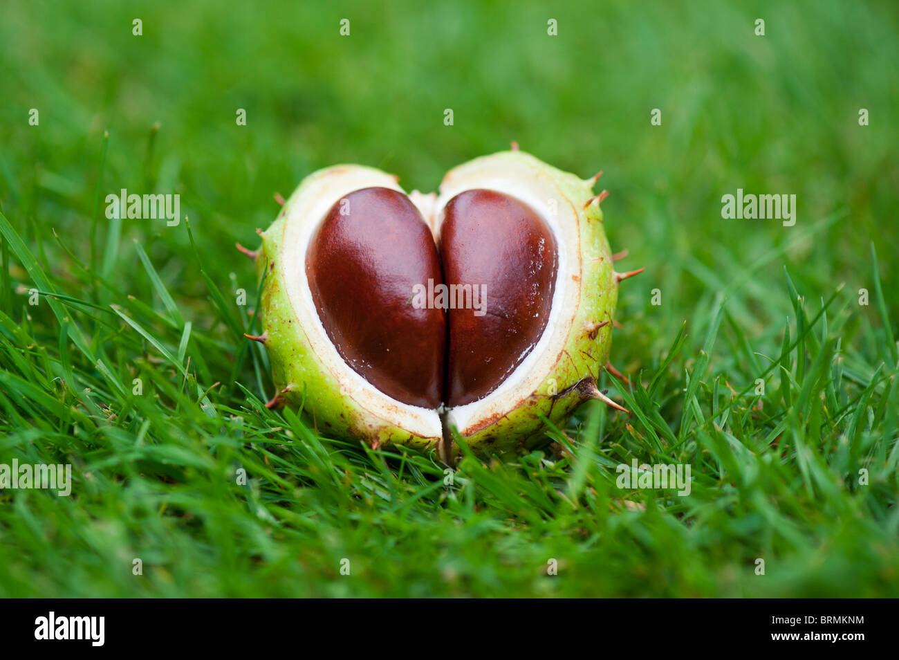 Aesculus Hippocastanum seed. Horse chestnuts. Conkers in the grass - Stock Image