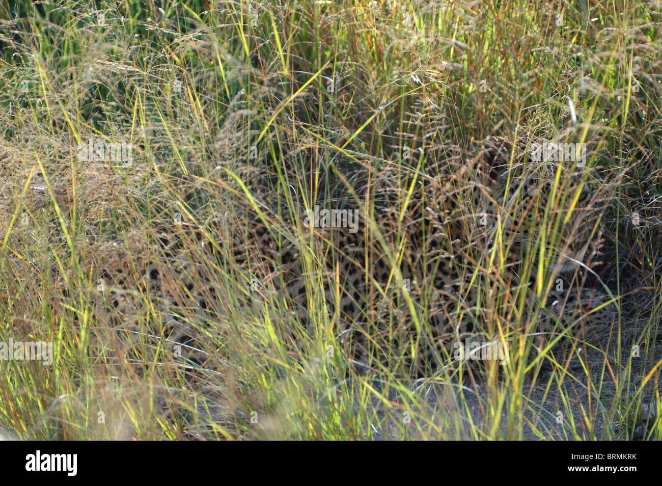 Leopard hiding in long grass - Stock Image