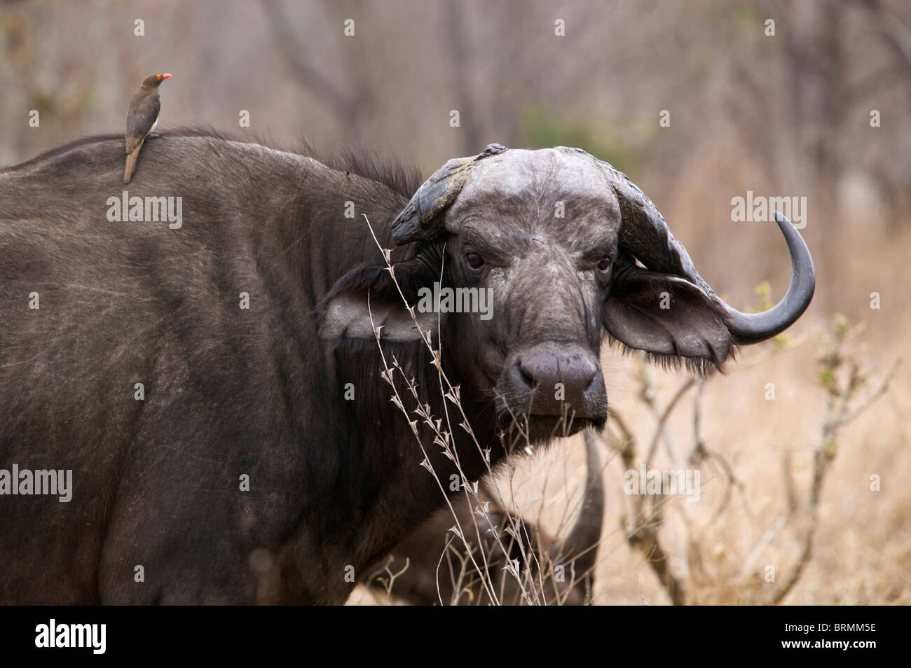 Portrait of an old female buffalo with a broken horn - Stock Image