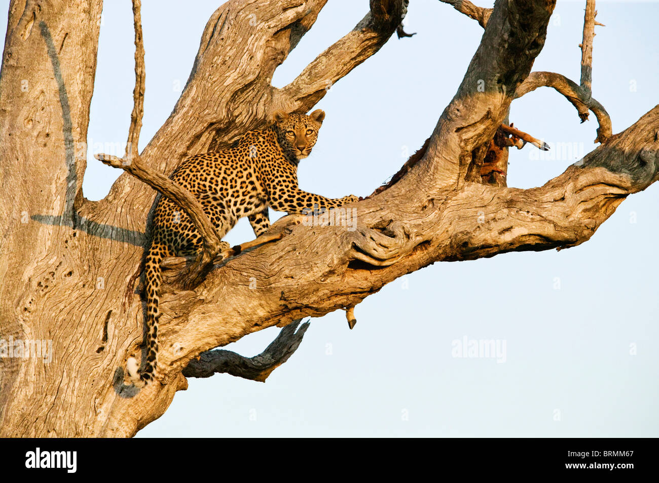 Leopard on the sturdy branches of a leadwood tree in warm light - Stock Image