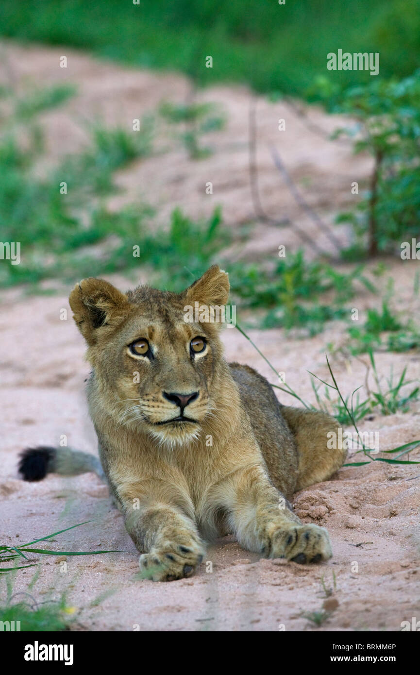 Frontal portrait of a lion cub looking upwards - Stock Image