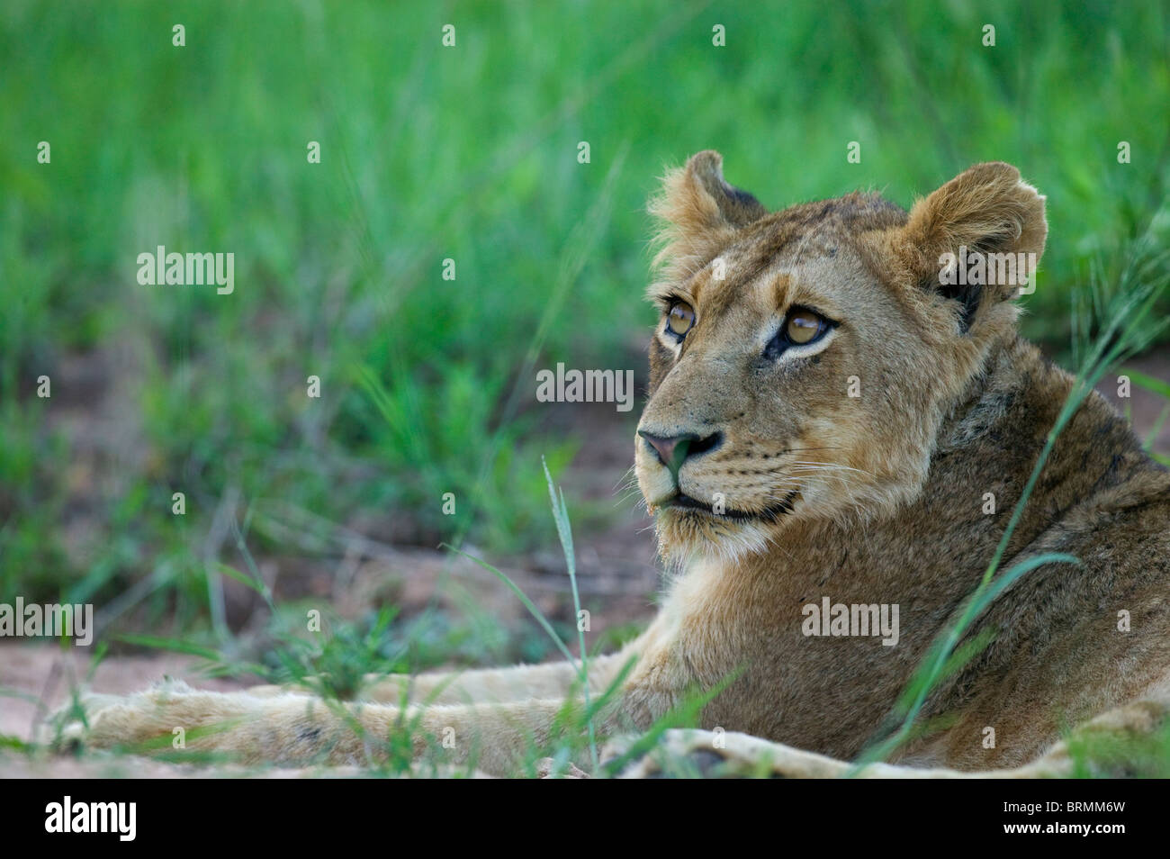 Side-on portrait of a lion cub looking upwards - Stock Image