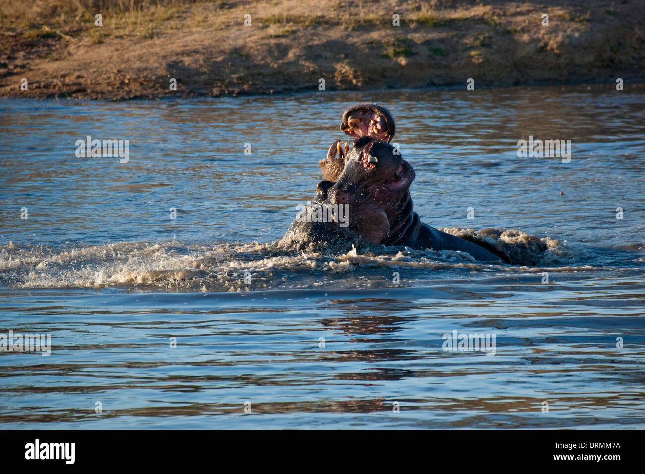 Hippos fighting in a territorial dispute in a waterhole - one with a flap of skin hanging from its snout - Stock Image