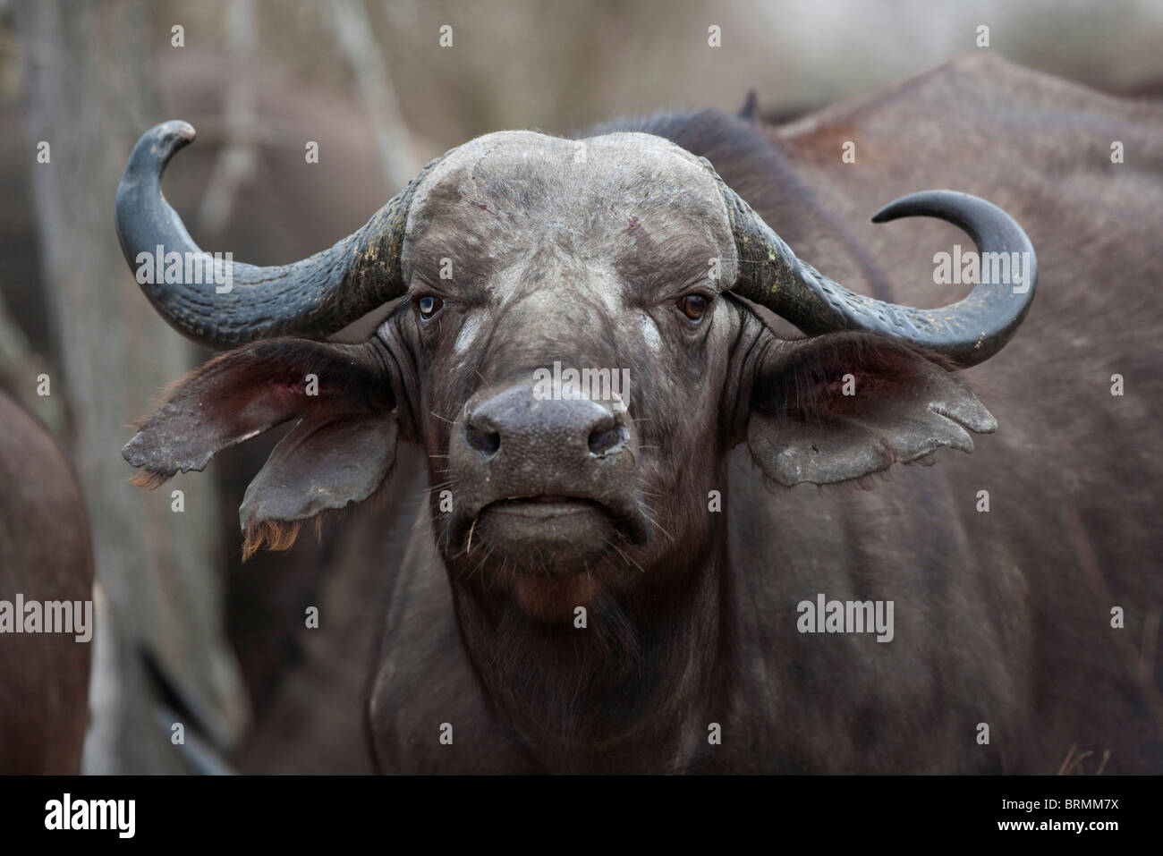 Frontal portrait of a female buffalo with a deformed horn and blind eye - Stock Image