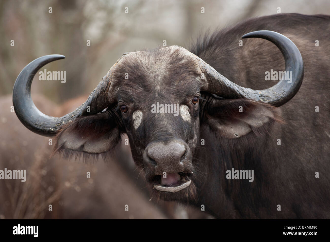 Frontal portrait of a female buffalo with its head tilted at an angle - Stock Image