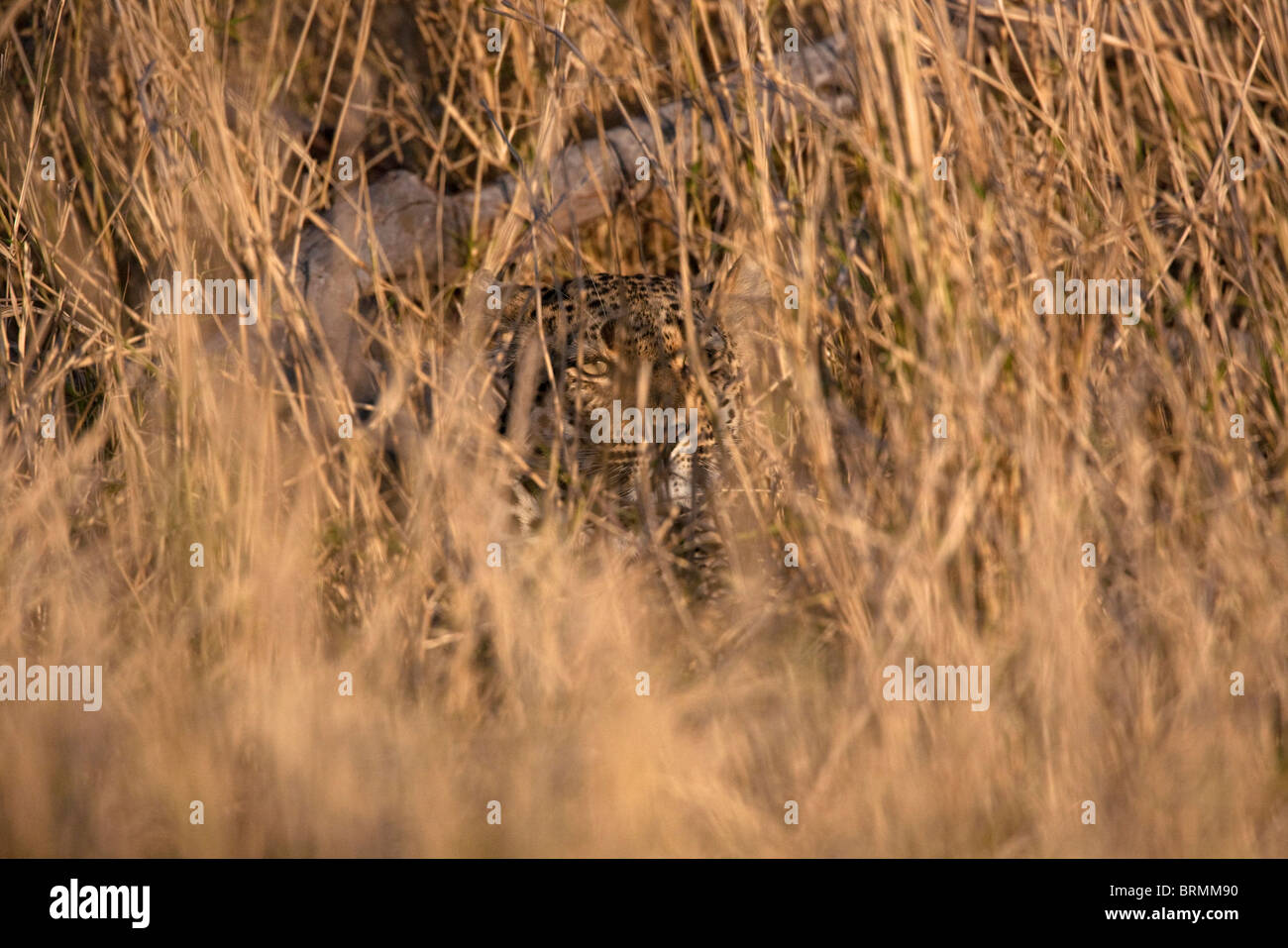 Leopard concealed in long dry grass - Stock Image