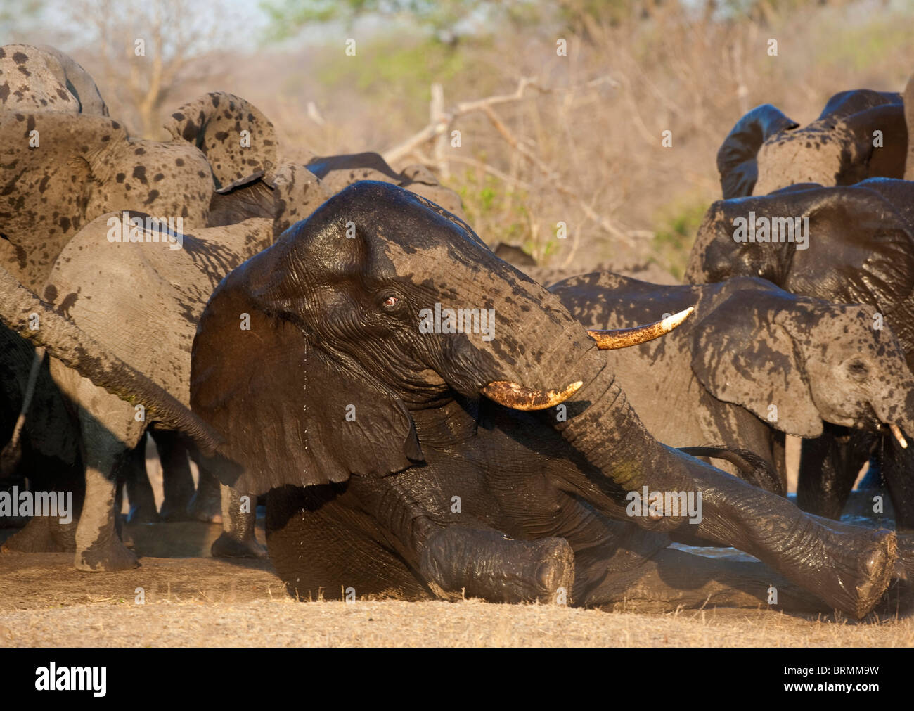 A wet bull elephant lying down on the ground with a breeding herd drinking in the background - Stock Image