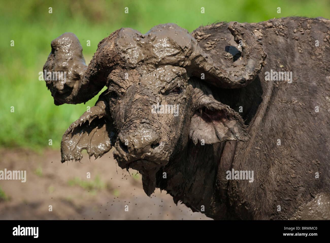 Portrait of a  very muddy buffalo bull - Stock Image