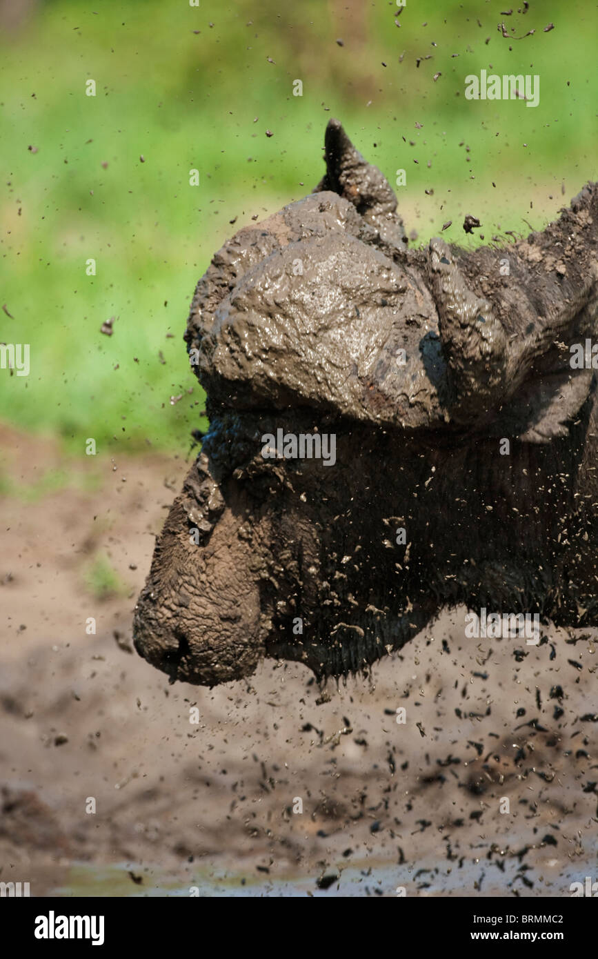 Portrait of a mud flying off a muddy buffalo as it shakes its head - Stock Image