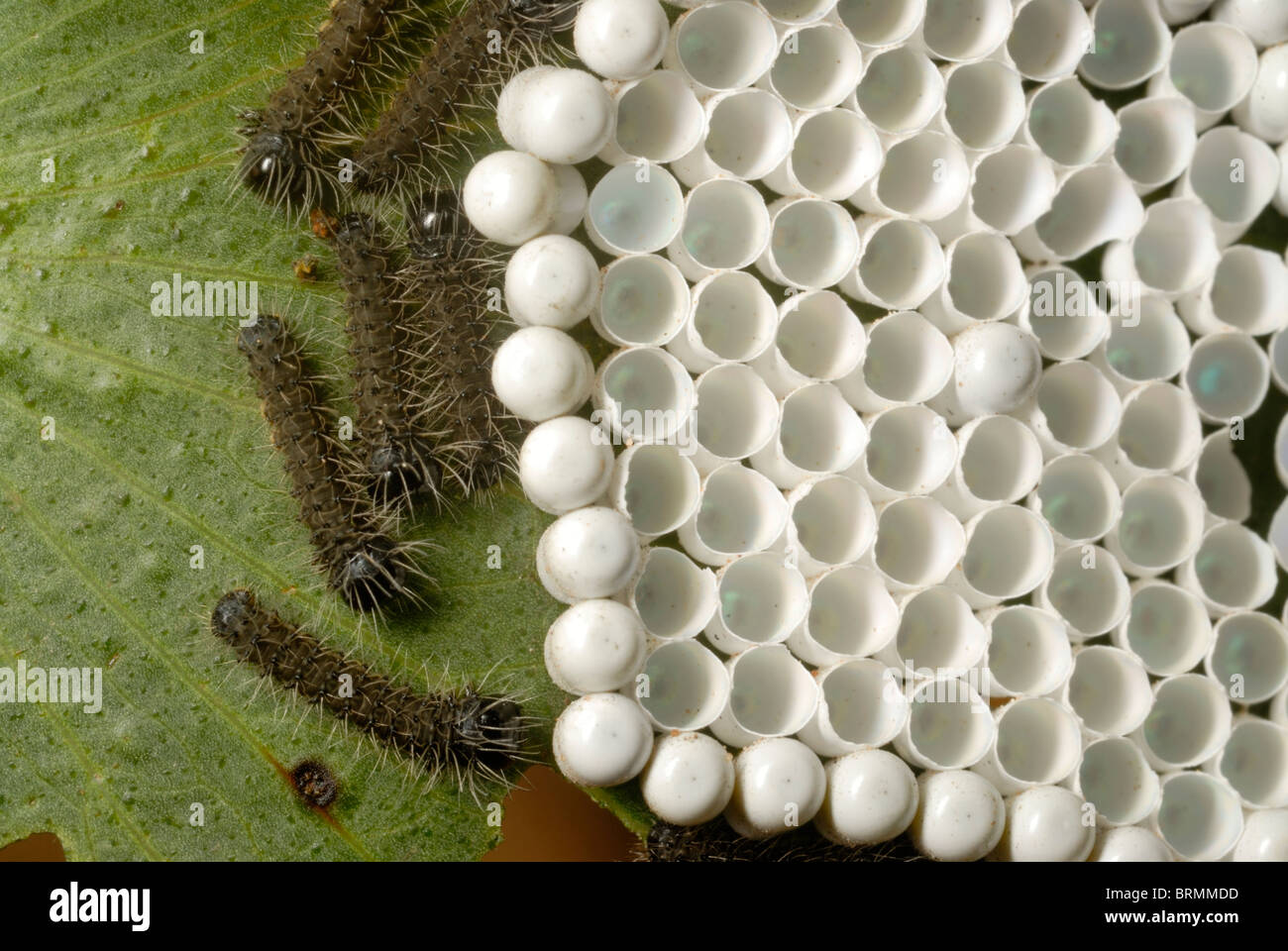 Hatched and unhatched Mopane worm eggs on a mopane leaf - Stock Image