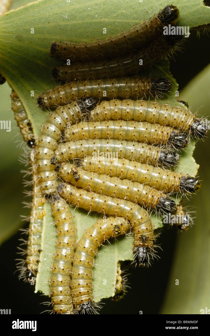Young yellow Mopane worms feeding on a mopane leaf - Stock Image