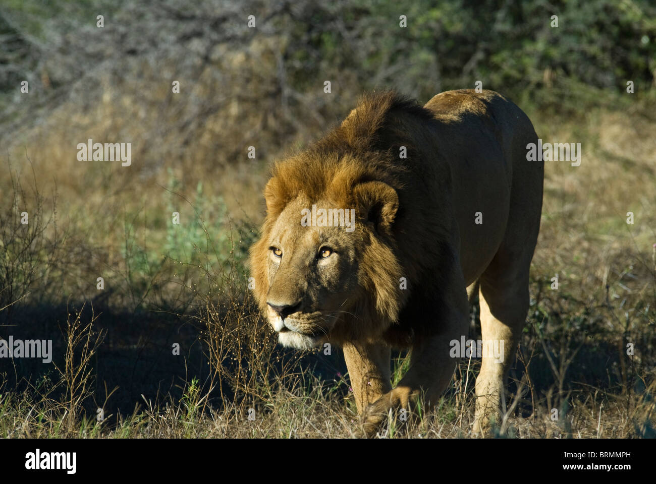 Male Lion walking with head lowered - Stock Image