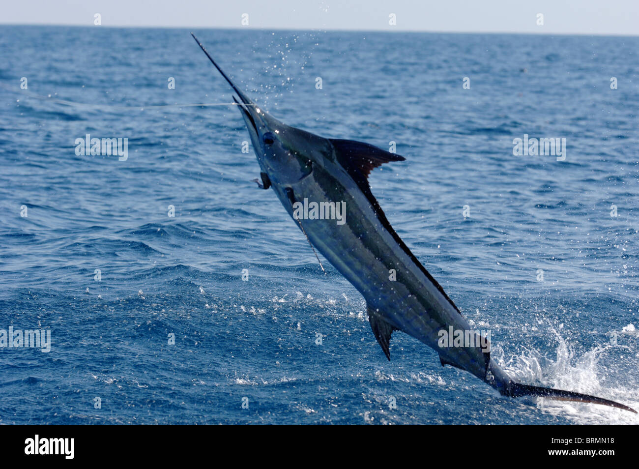 how to catch blue marlin