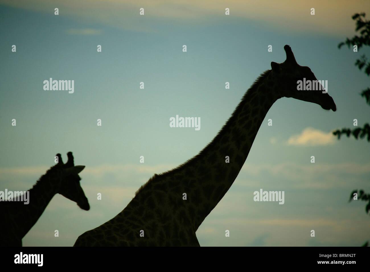 Giraffe silhouetted at sunset - Stock Image