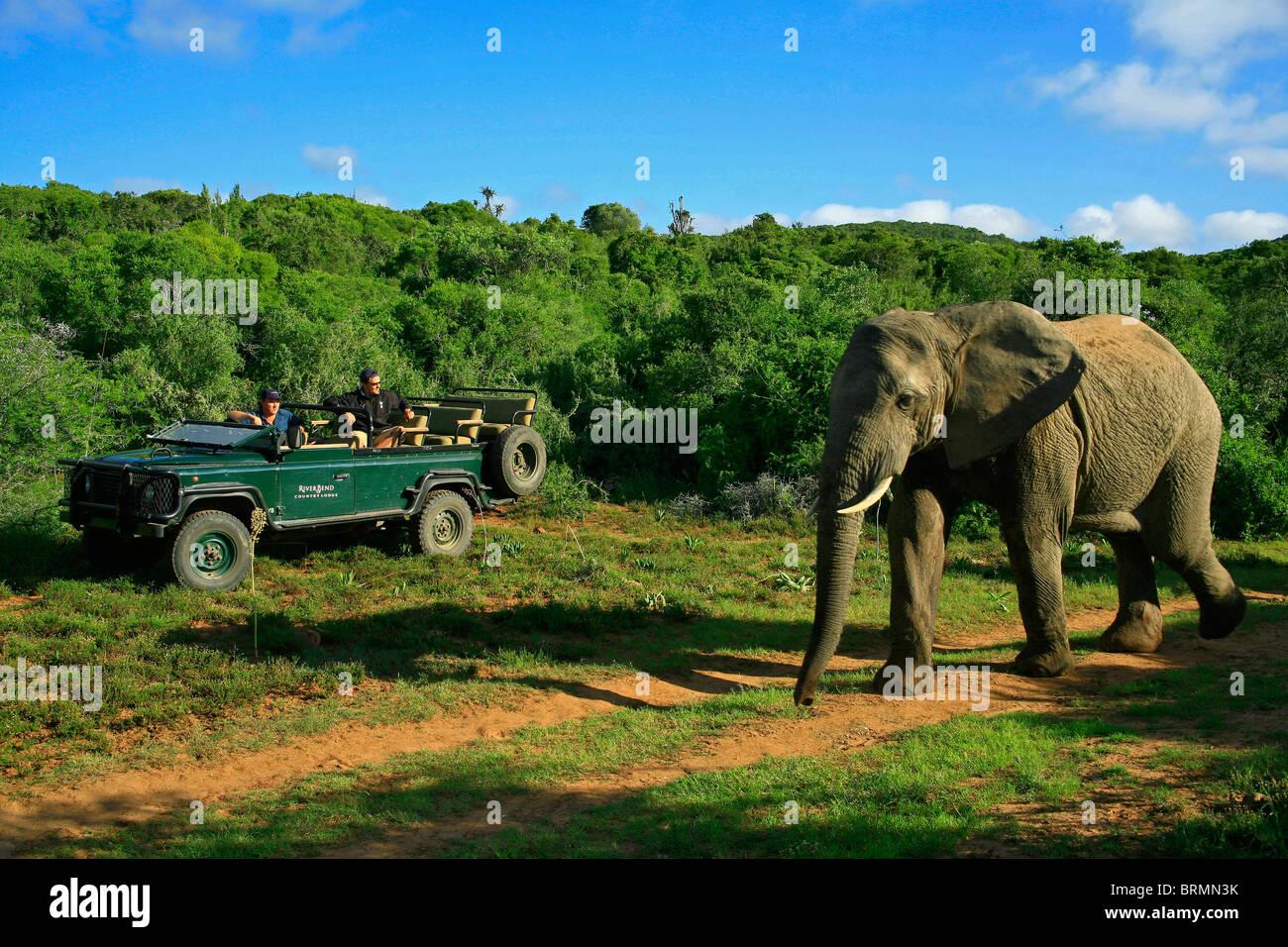Elephant and safari game drive - Stock Image