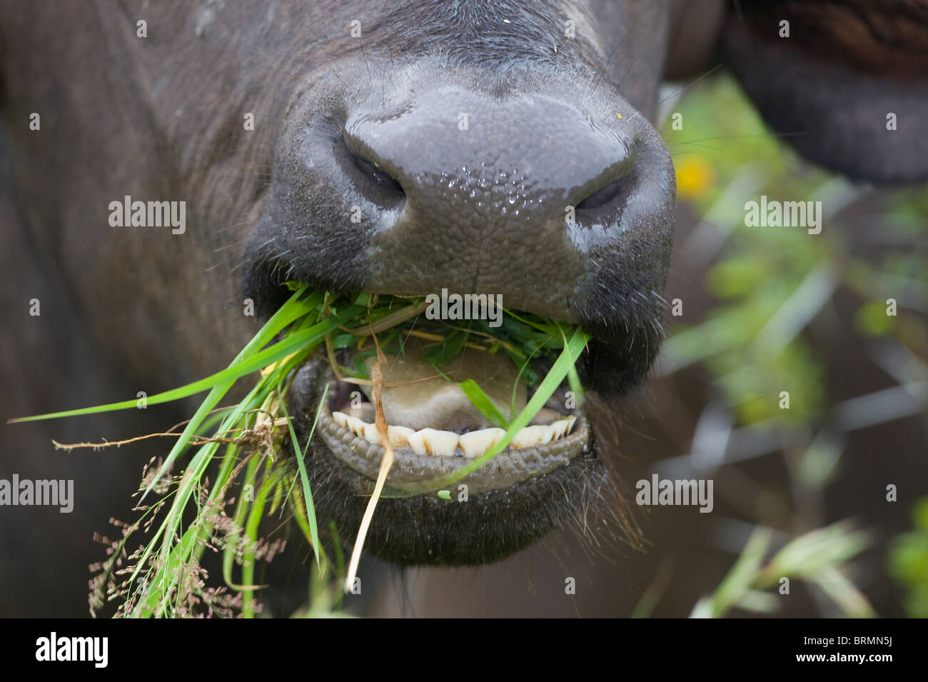 Close up of a Buffalo's open mouth chewing green grass - Stock Image