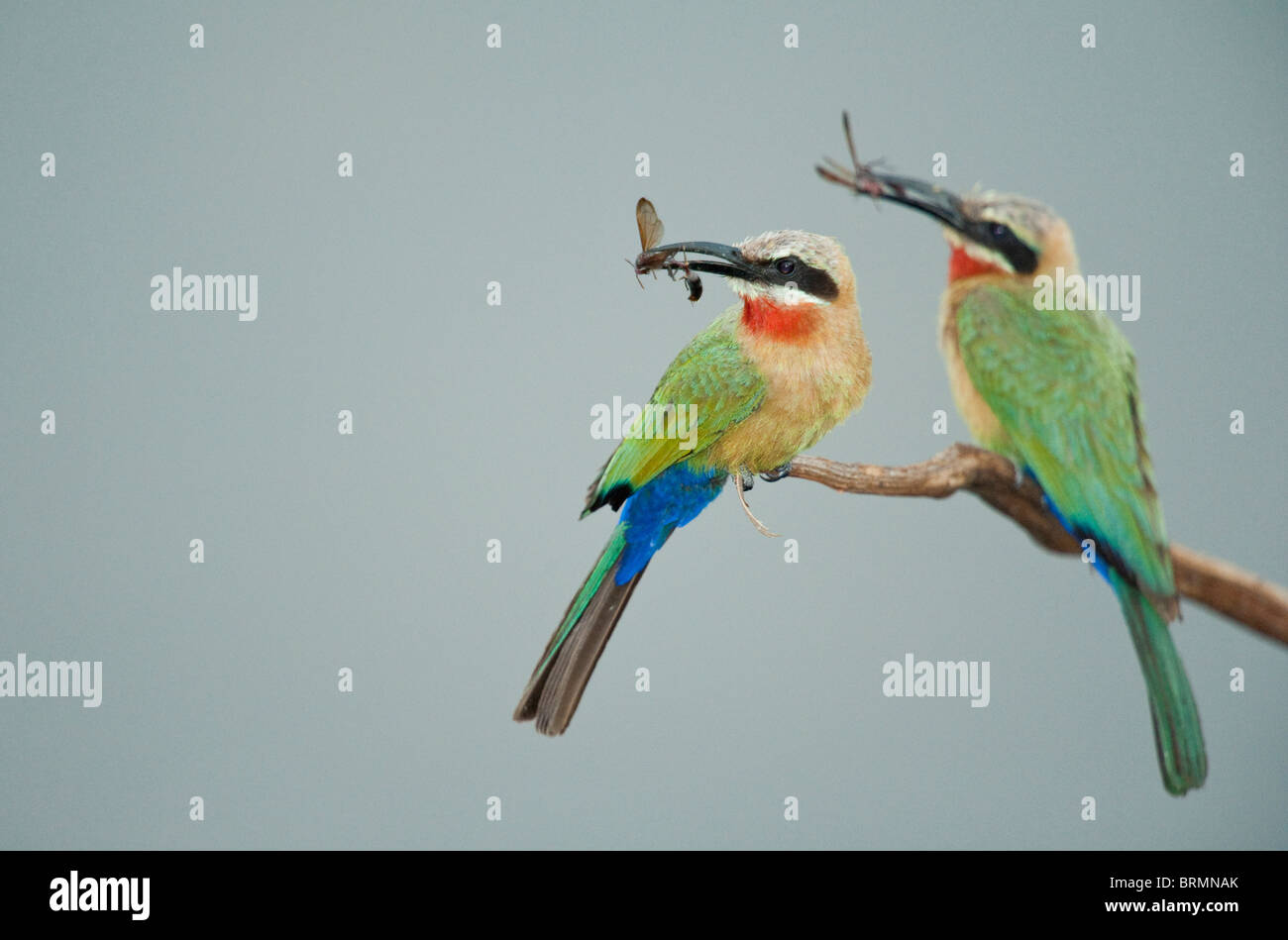 White-fronted bee-eater with insects in their beaks - Stock Image