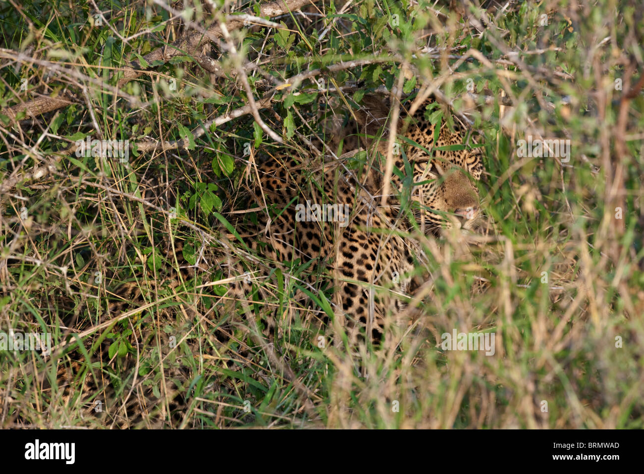 A Leopard Hidden In Long Grass Stock Photo 31806389 Alamy