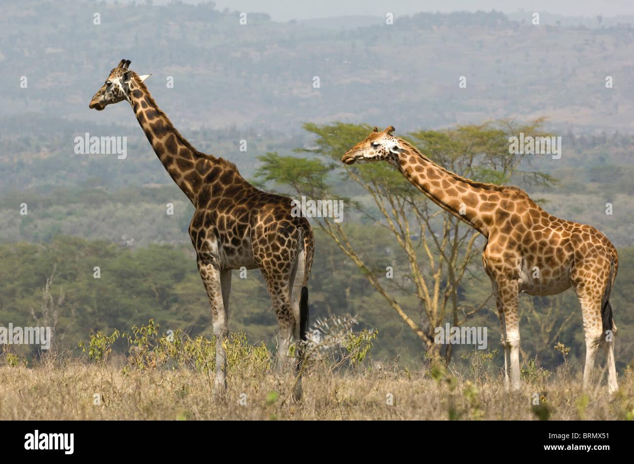 Two Rothschild's Giraffe (Giraffa camelopardalis Rothschild) standing near to each other - Stock Image