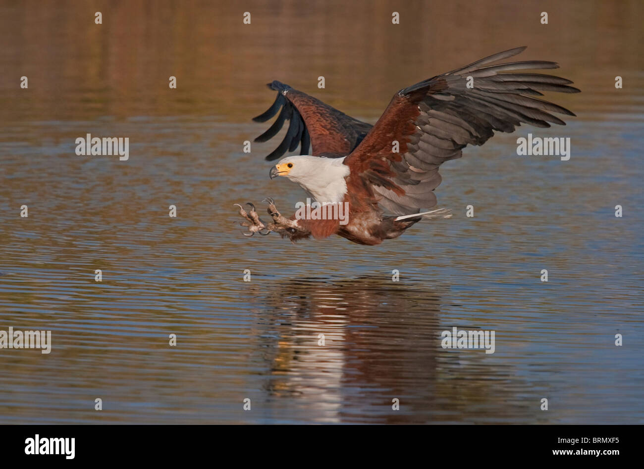 African fish eagle swooping with its talons extended - Stock Image