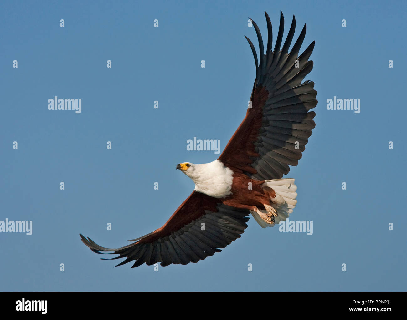 African fish eagle soaring - Stock Image