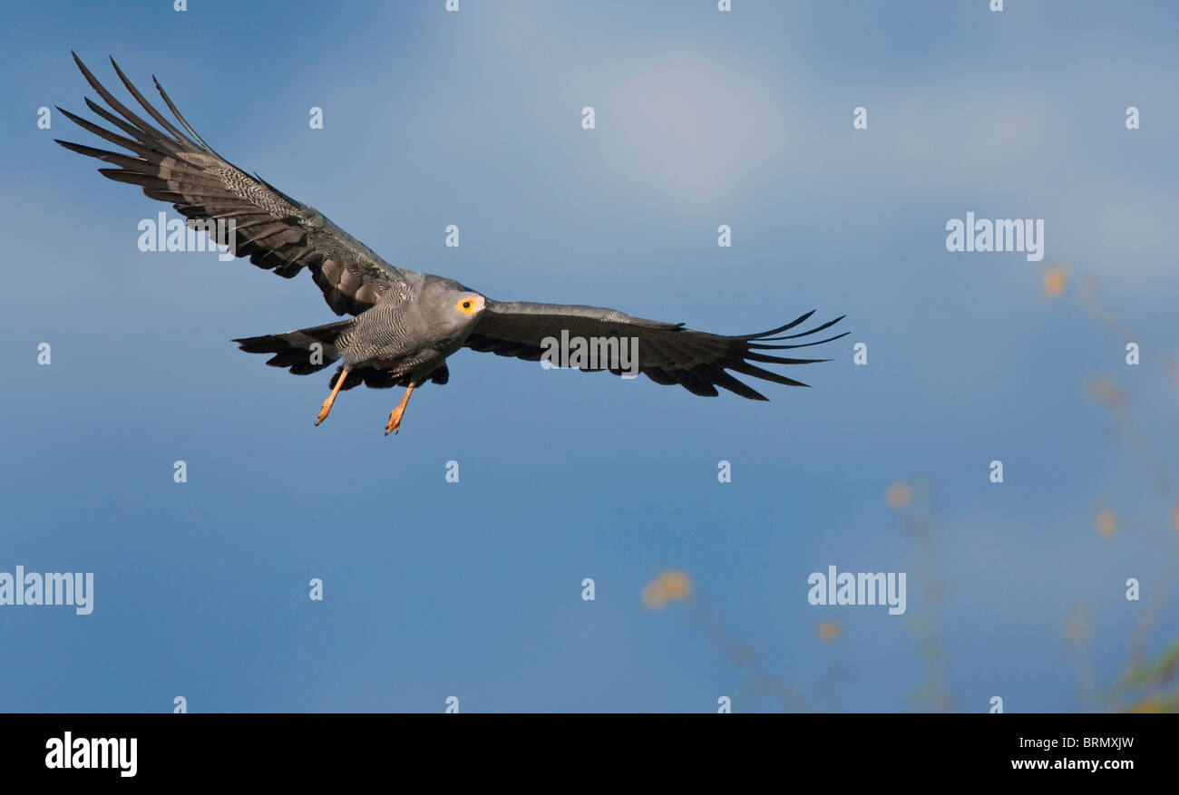 African harrier hawk in flight Stock Photo