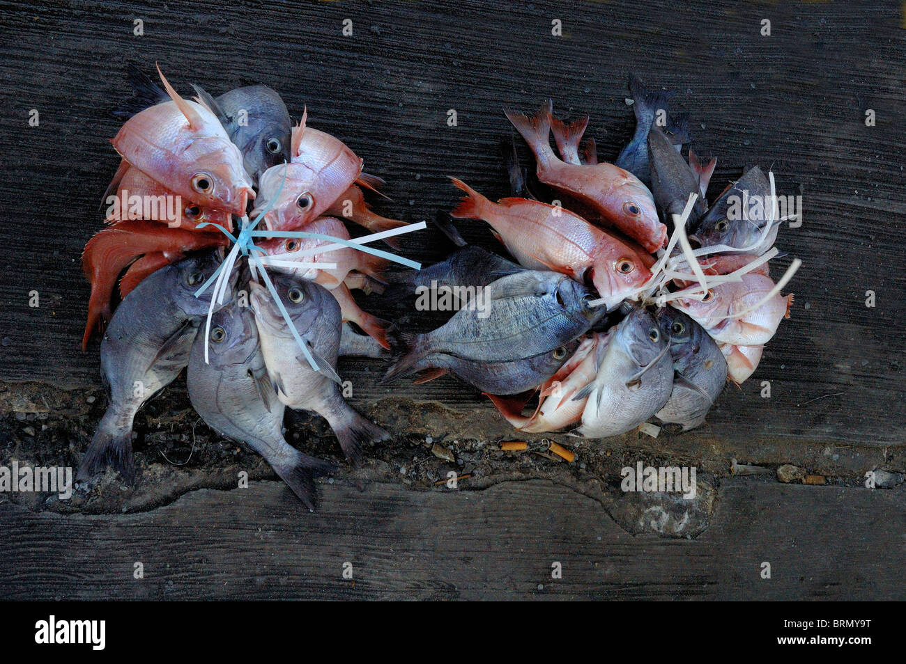 A catch of pink and grey fishes tied together - Stock Image