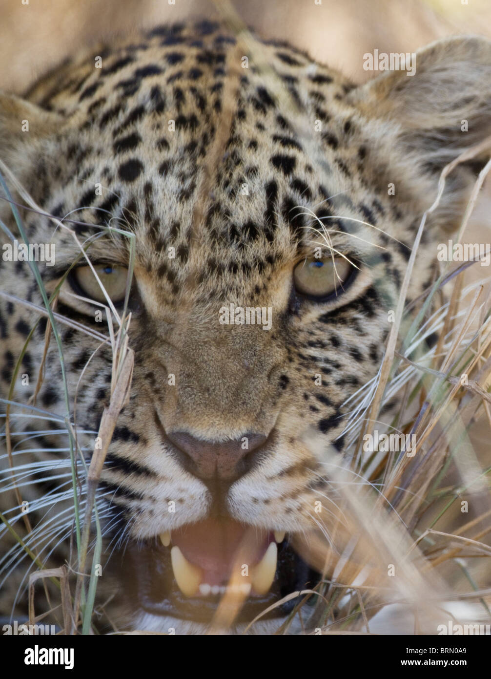 Tight portrait of a leopard snarling - Stock Image