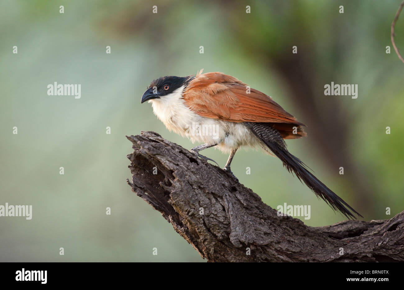 Burchell's Coucal perched on a dry branch - Stock Image