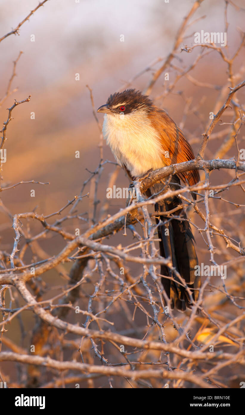Burchell's coucal perched amongst dry branches - Stock Image