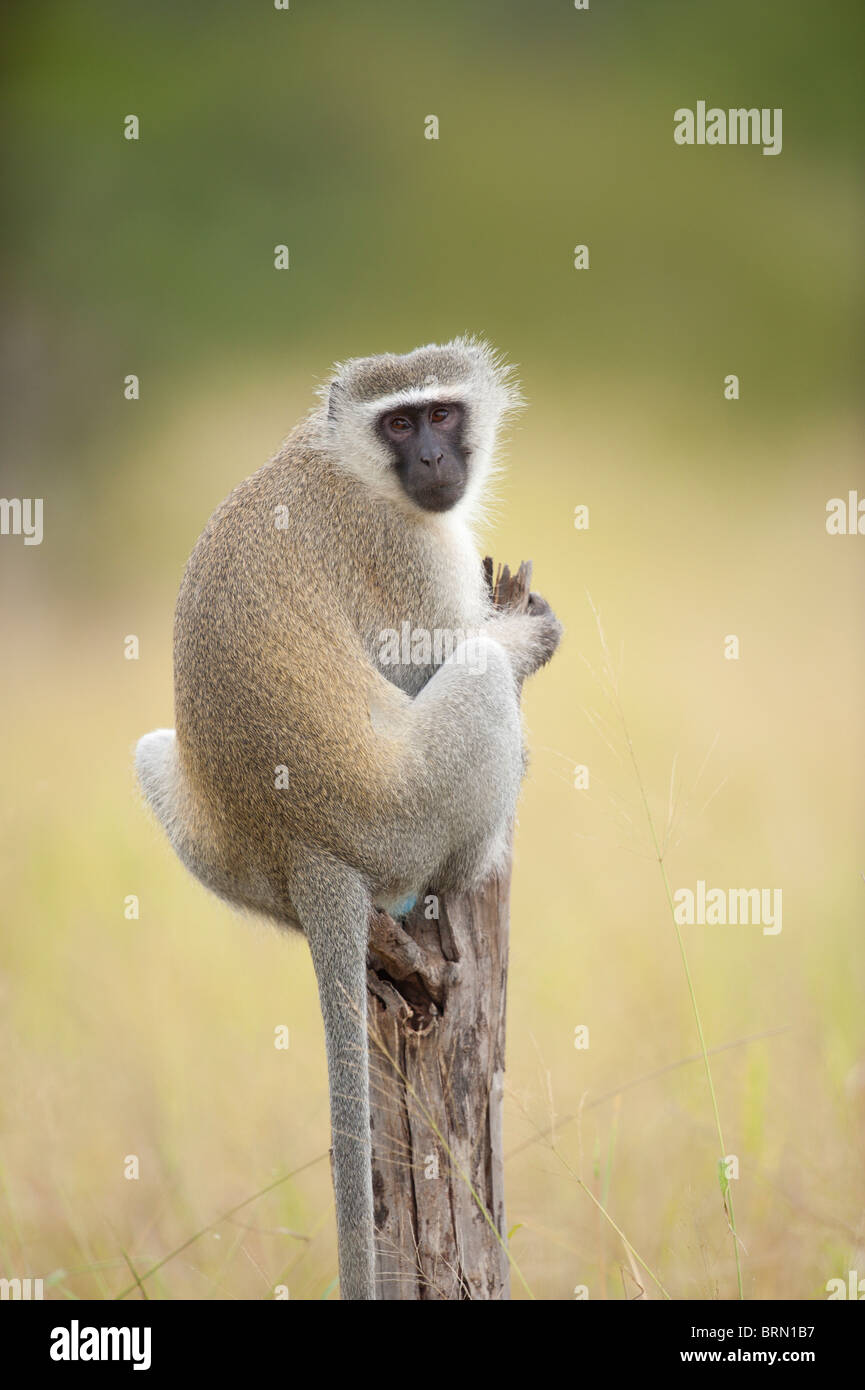 Vervet Monkey sitting on a dry branch looking over its shoulder - Stock Photo