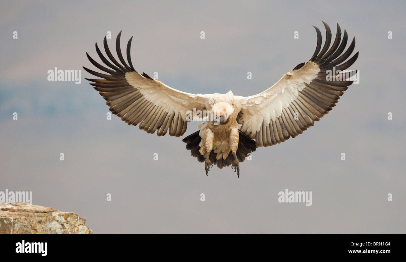 Cape Vulture with its legs and wings extended preparing to land - Stock Image