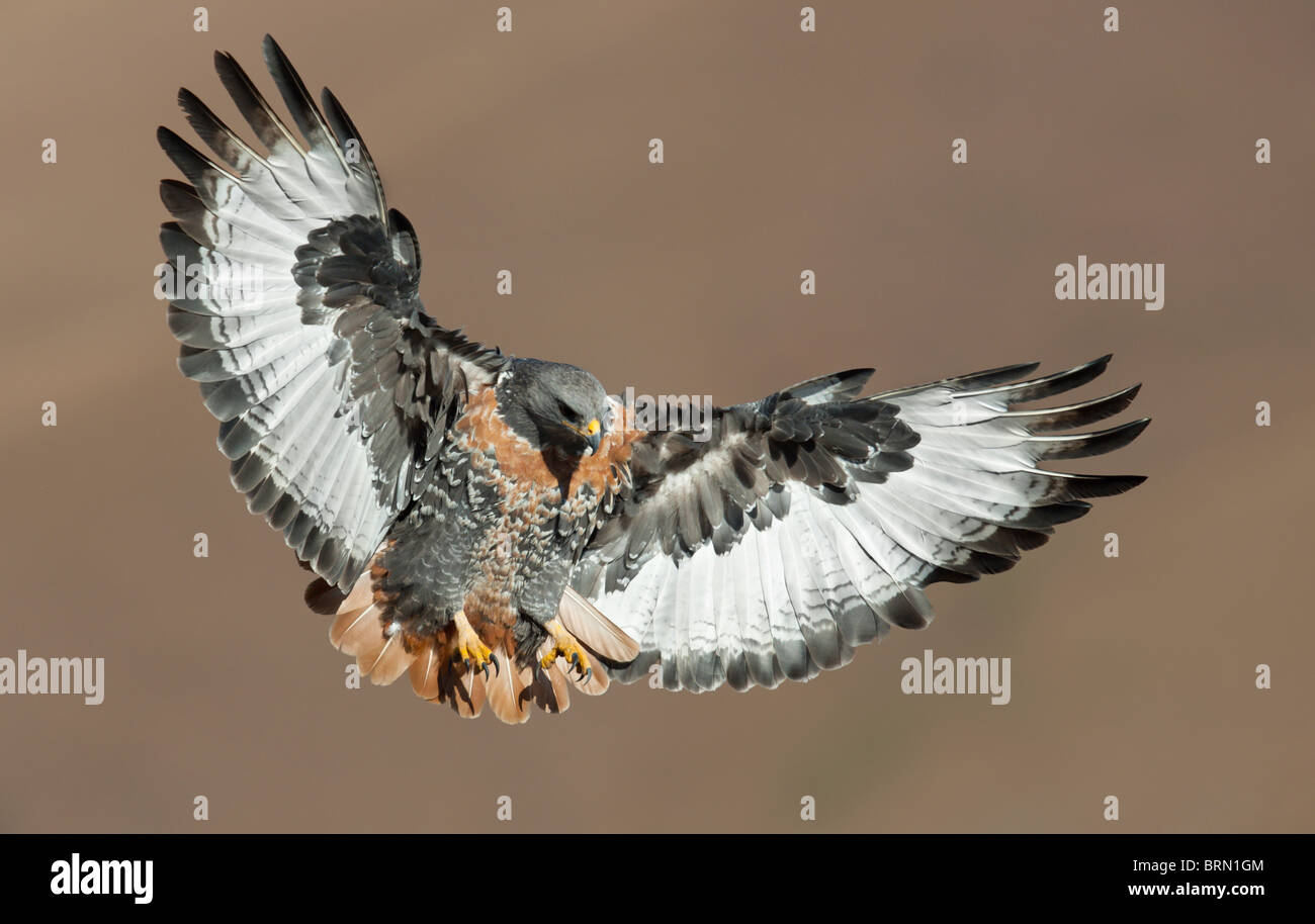 Jackal Buzzard with its wings and legs extended preparing to land - Stock Image