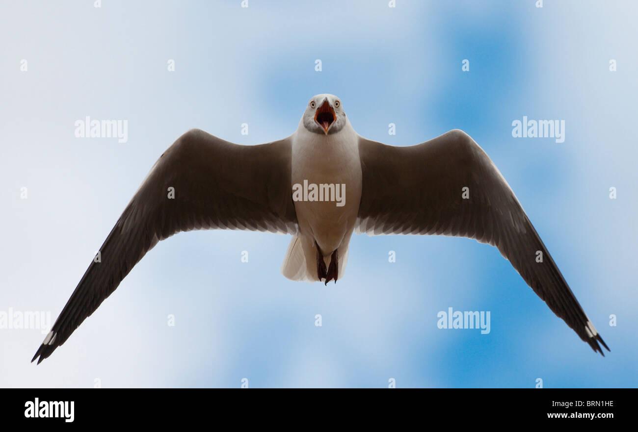 Grey-headed Gull in flight with its beak wide open - Stock Image