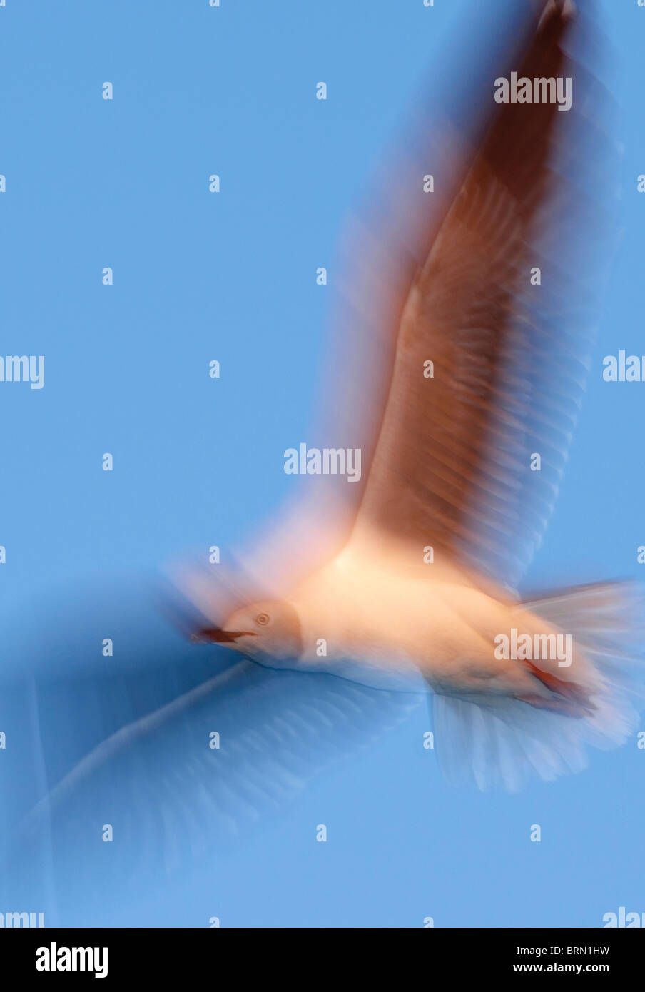 Grey-headed Gull with its wings extended in flight - Stock Image