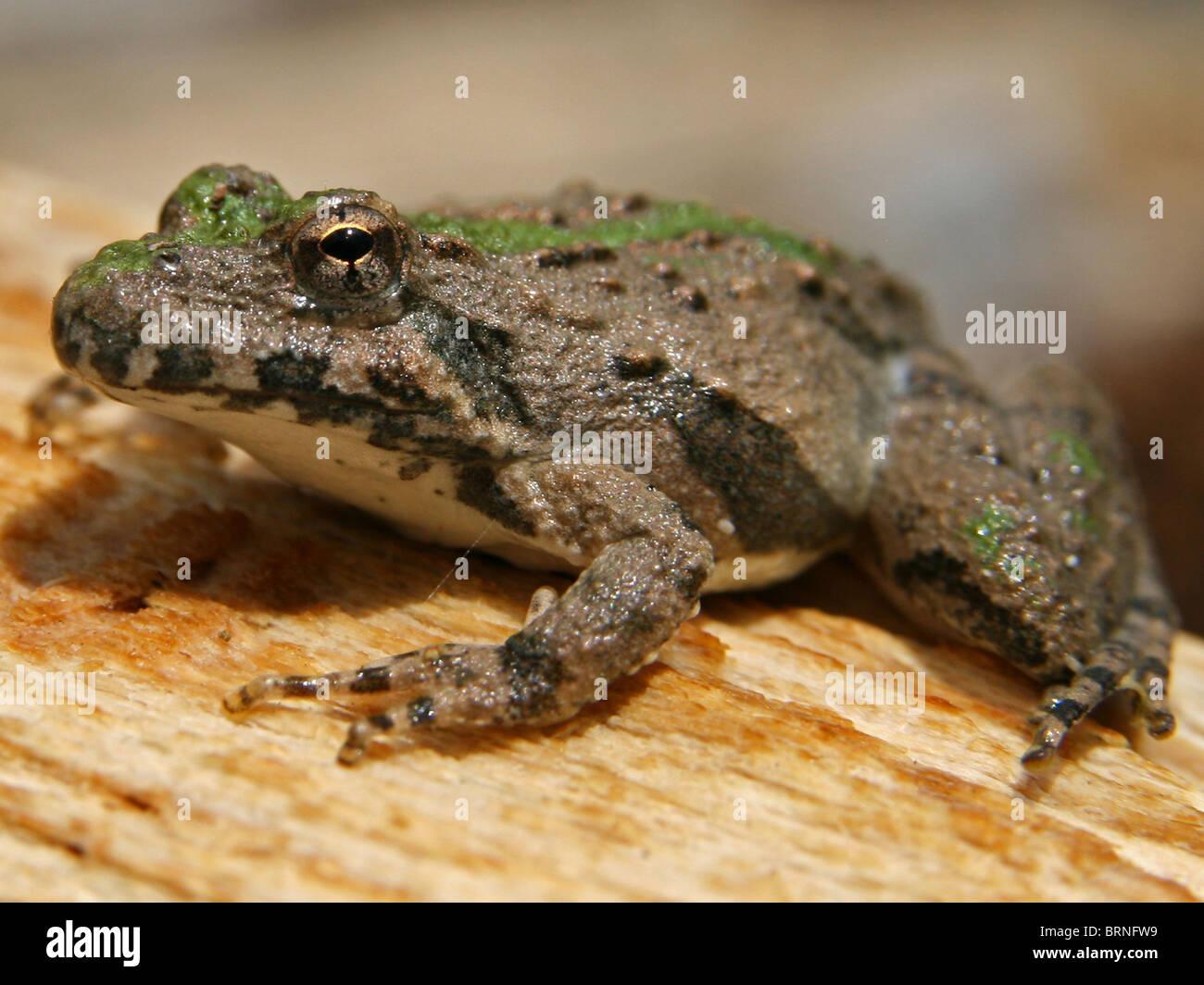 Blanchard's Cricket Frog (Acris crepitans blanchardi) Stock Photo