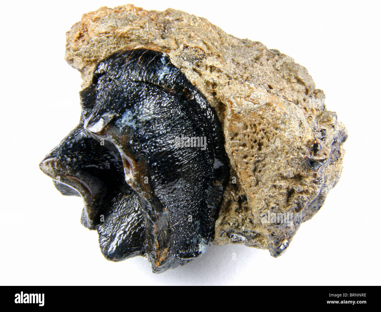 Coryphodon sp. (tooth from a species of an extinct genus of North American hippopotamus-like mammals) 53 million - Stock Image