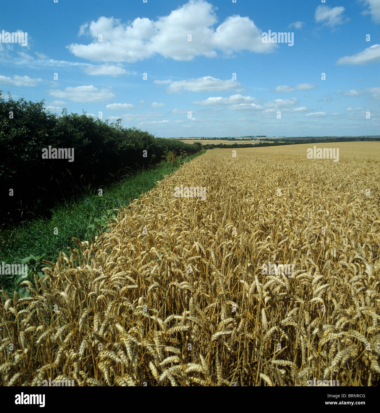 Ripe wheat crop with an old mixed well maintained hedgerow and a grass strip in the headland - Stock Image
