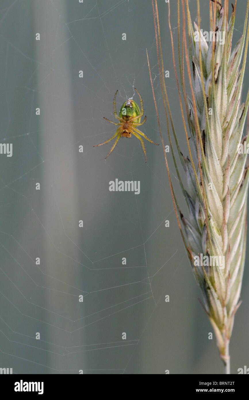 Araniella cucurbitina, the Cucumber green spider - Stock Image