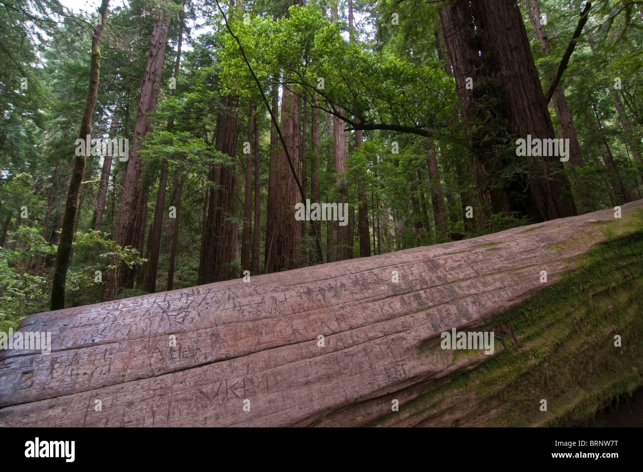 Vegetation and Coastal Redwoods, Sequoia sempervirens, Muir Woods National Park, California, USA - Stock Image