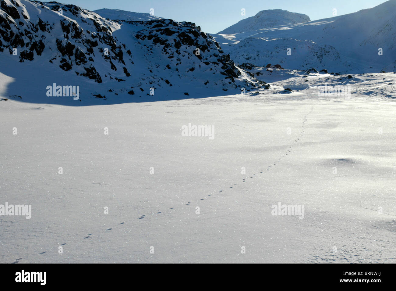 A line of fox tracks crosses the snow-covered summit of Seathwaite Fell in the Lake District. Stock Photo