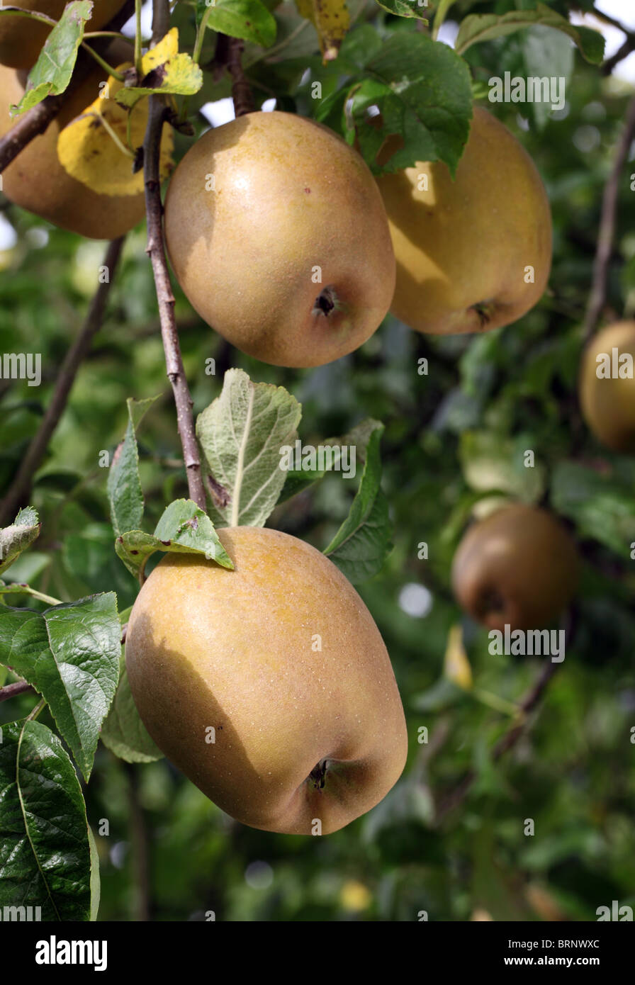 Russet apples ripening on a tree, orchard, Surrey, England, UK - Stock Image
