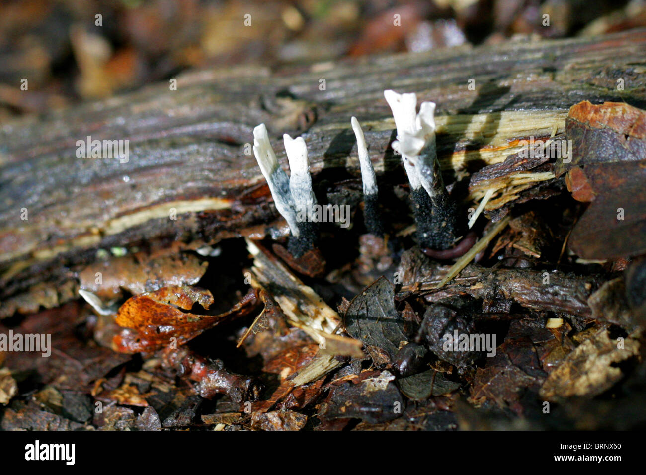 Candle Snuff Fungus or Stag's Horn, Xylaria hypoxylon, Xylariaceae - Stock Image