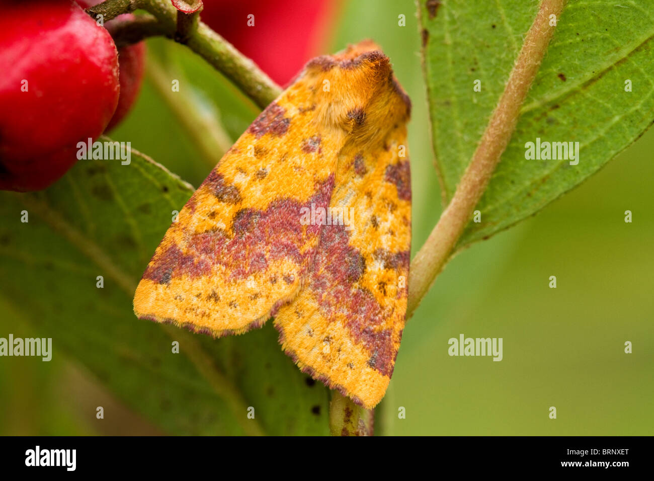 pink barred sallow (xanthia togata) on cotoneaster tree - Stock Image
