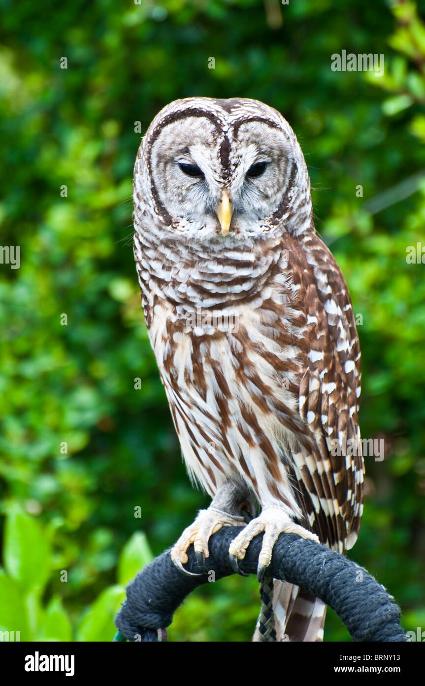 Rescued Florida Owl just prior to release back to the wild after recovering from injury - Stock Image
