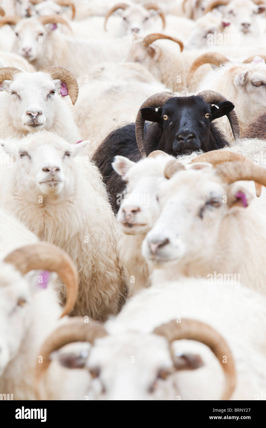 Black sheep amongst white Icelandic sheep. - Stock Image